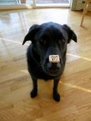 Luke the show dog.