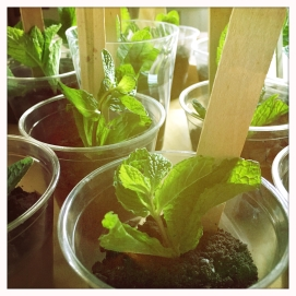 Mint 'seedlings'