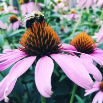 Echinacea with a bee on top