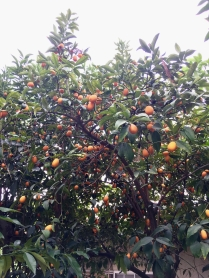 Kumquat tree!